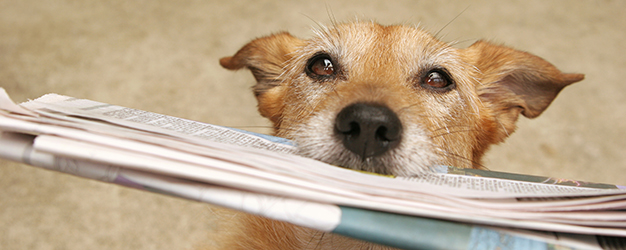 Cute scruffy dog with the daily newspaper in her mouth.